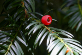 Taxus baccata (tis červený) - Foto: M. Schafferová