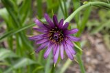 Tragopogon porrifolius (kozí brada pórolistá) - Foto: M. Hrdinová