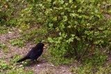 Turdus merula (kos černý) - Foto: M. Hrdinová