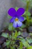 Viola tricolor (violka trojbarevná) - Foto: M. Hrdinová